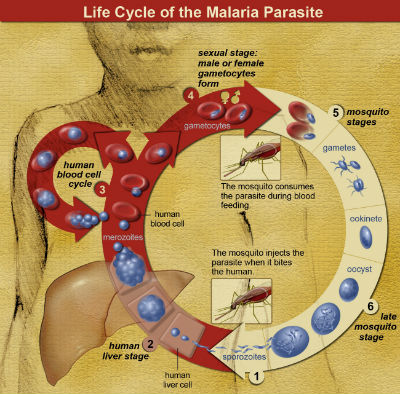 Life Cycle of the Malaria Parasite2017